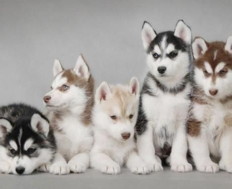 Beautiful Blue Eyed Siberian Husky Puppies Puppies Siberian