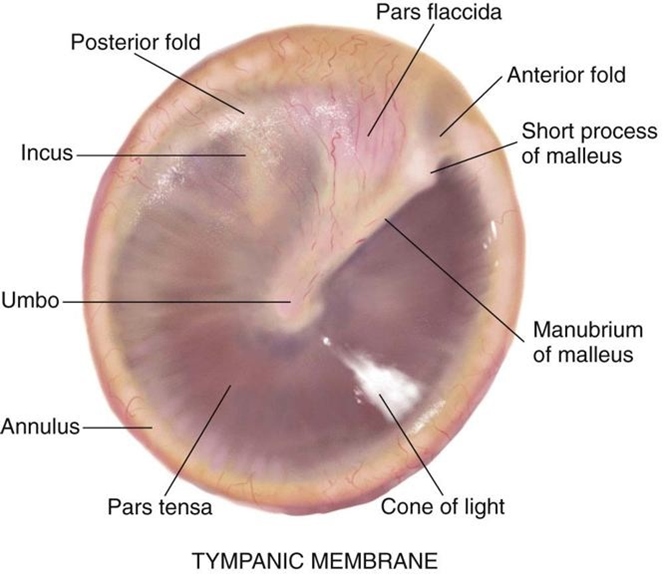 tympanic membrane | education, nursing, public heath, learning, Skeleton