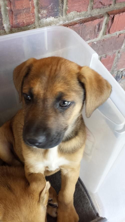 Meet Starsky A Petfinder Adoptable Shepherd Dog Nashville Tn You Can Fill Out An Adoption Application Online On Ou Dogs Shepherd Dog Labrador Retriever