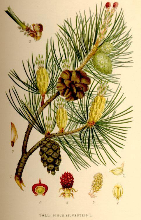 Tall Pinus Silvestris Http Runeberg Org Nordflor Pics 496 Jpg Pflanzenzeichnung Botanische Zeichnung Botanische Illustration