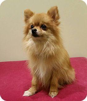 Roanoke Va Pomeranian Meet Bentley A Dog For Adoption Http