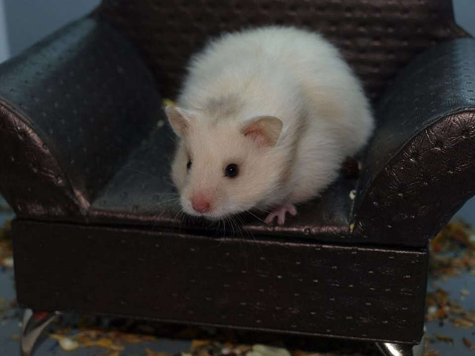 Brown Eared Silver Grey Lh Hamster Pup Bbsgsg Ll 5 Weeks