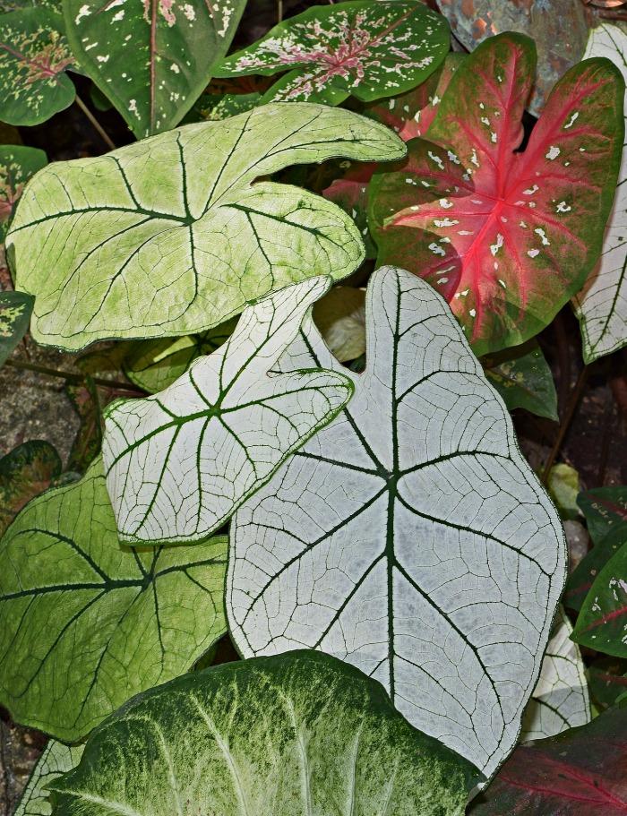 Care of Caladium plants Varieties Overwintering