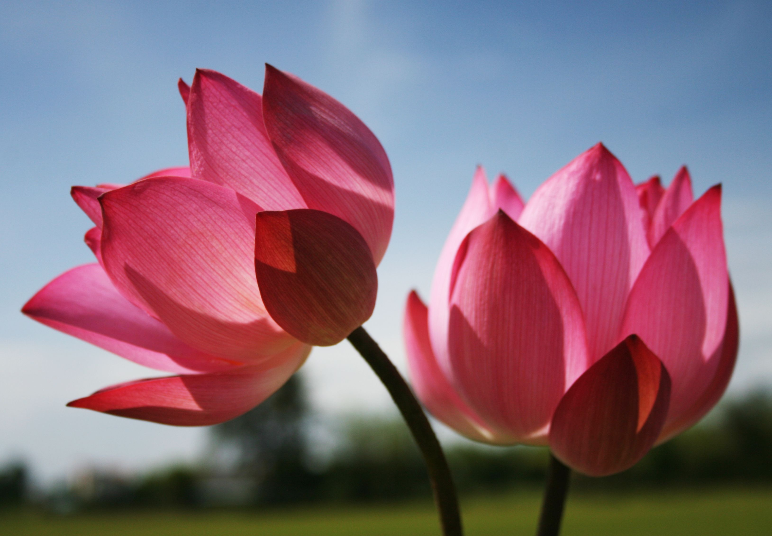Pretty In Pink Lotus flower pictures, Most beautiful