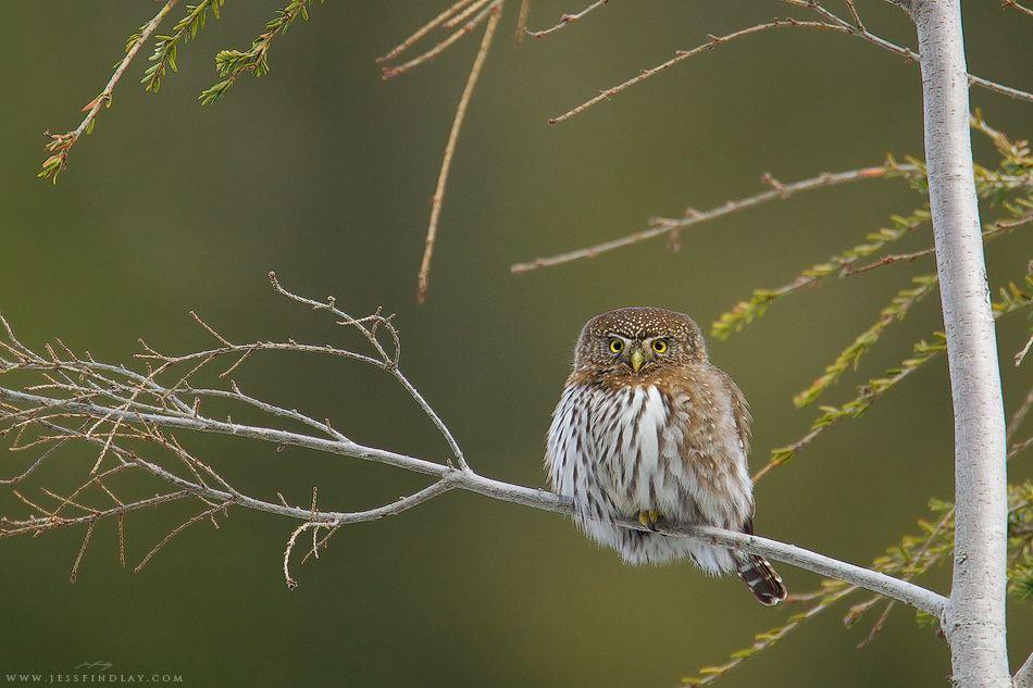 Northern Pygmy-Owl | Flickr - Photo Sharing!