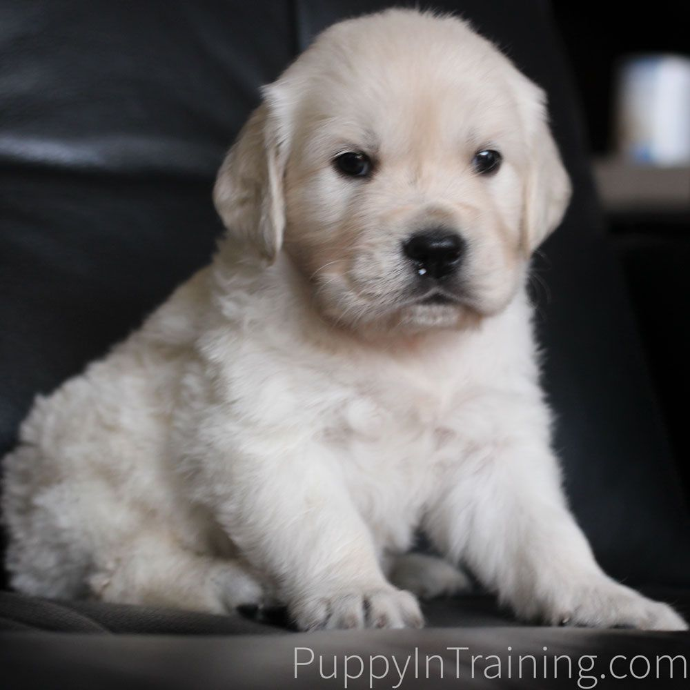 Our Litter Of Golden Retriever Pups Week 8 Retriever Puppy Your Dog Happy Puppy