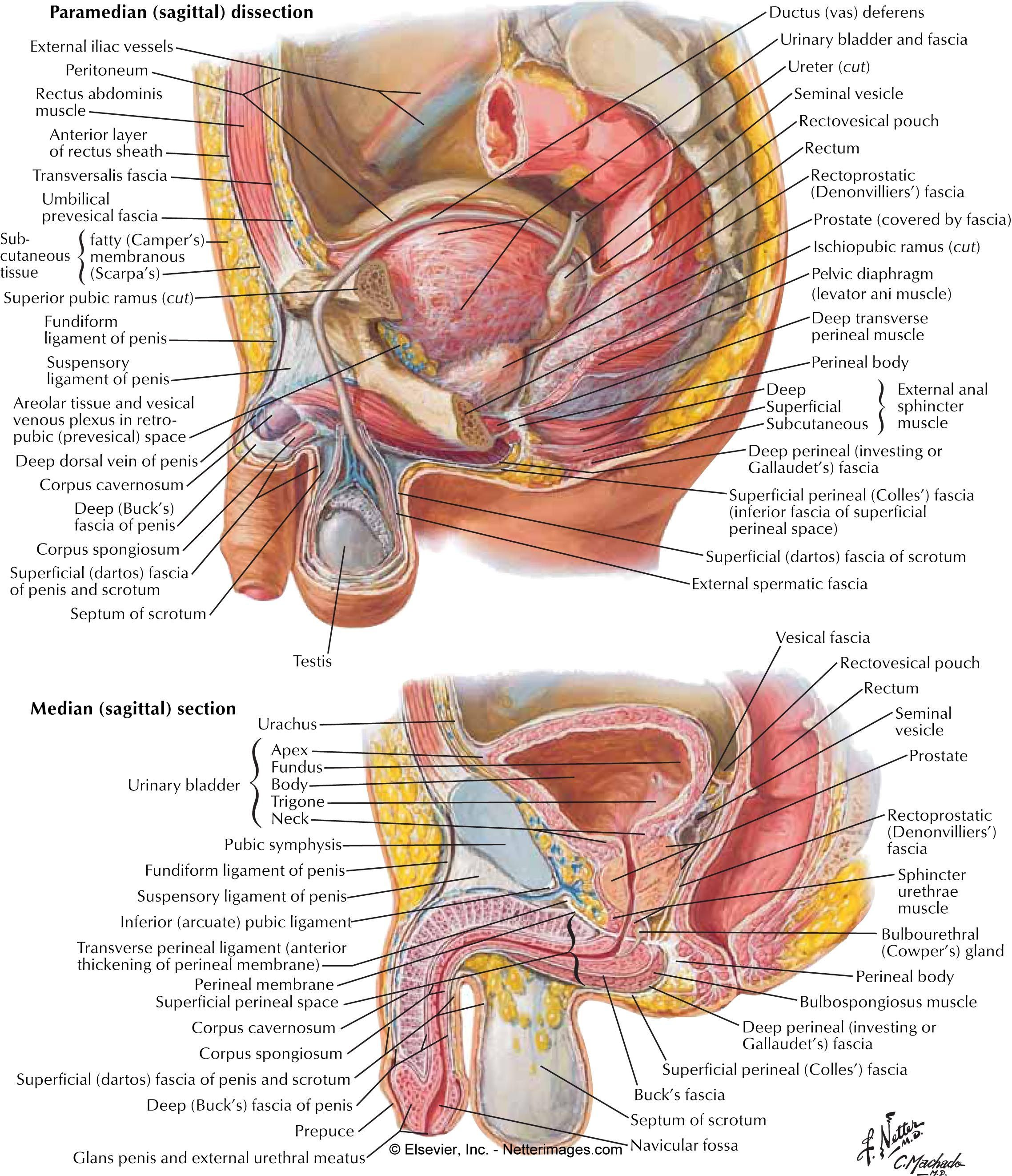 Netter Images For Lymphatic System Google Search Ap 2
