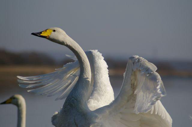 白鳥と戯れて : ふつうのコト #swan
