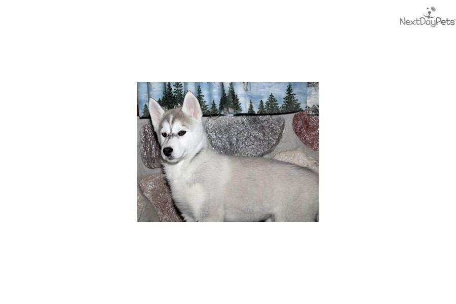 Meet Skye A Cute Siberian Husky Puppy For Sale For 1 000 Beautiful Akc Siberian Husky Pup Lifetime Guar Siberian Husky Husky Husky Puppy