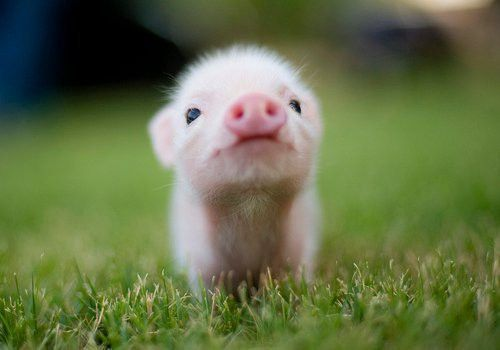 A little piglet in the grass.