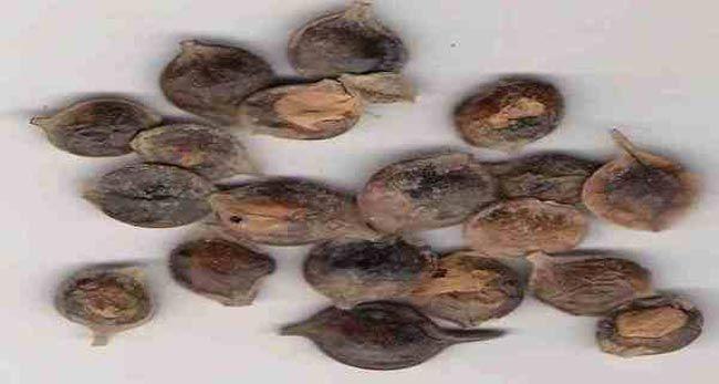 فوائد استخدامات ومنافع عشبة القرض Vegetables Food Garlic