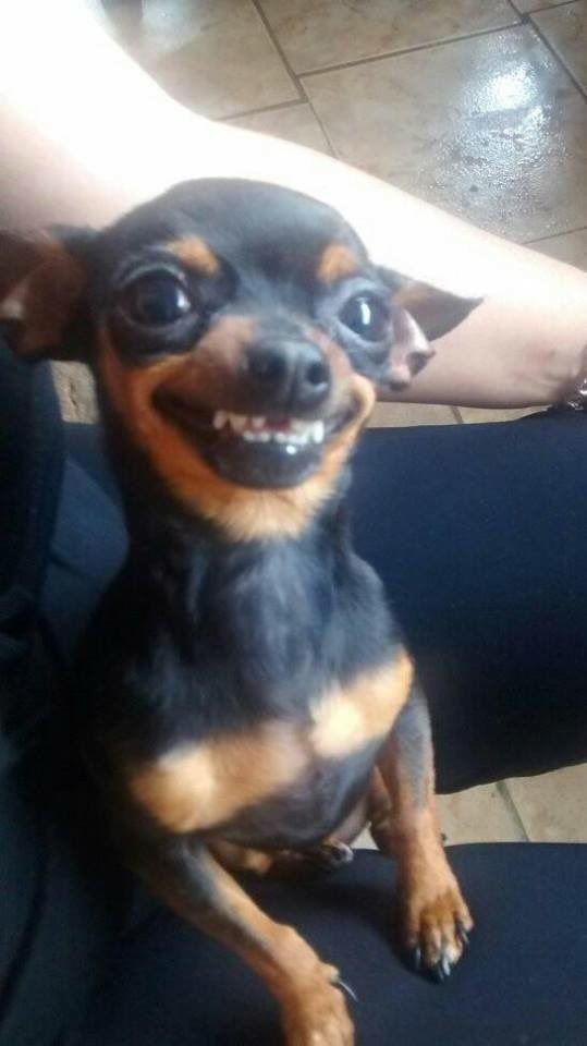 Dog Smiling Meme : smiling, Precious, Little, Doggy!, Smiling!, Funny, Pictures,, Animal, Memes
