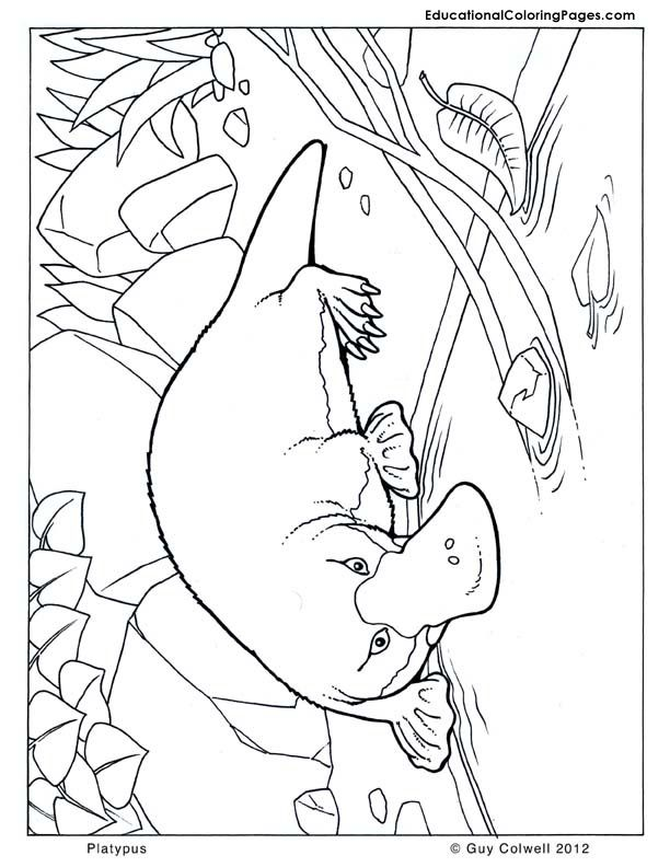platypus coloring australian animal coloring pages - Australia Coloring Pages Kids