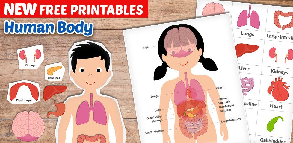 Free Human Body Printables For Kids Teach Your Kids About Their Bodies And The Different Organs Great For Ho Human Body Printables Free Human Body Homeschool Free human body worksheets