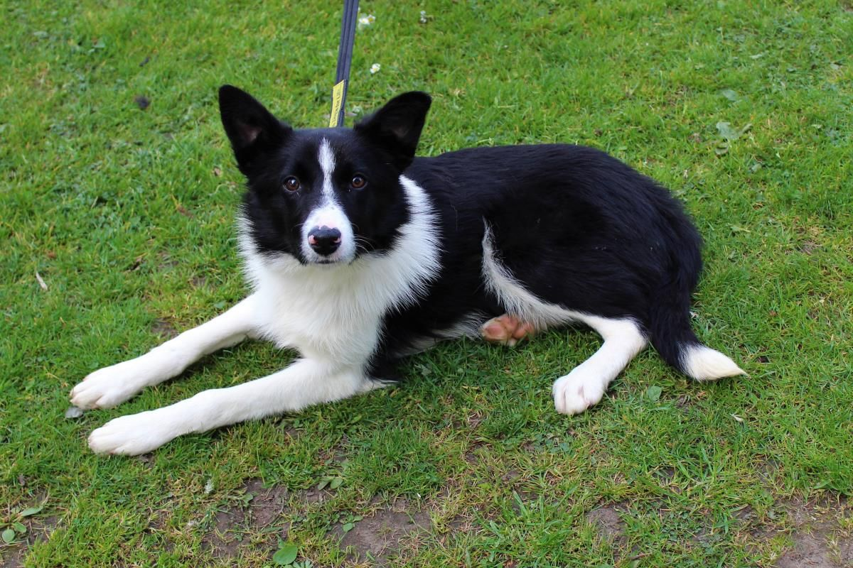 Adopt A Dog Hop Border Collie Dogs Trust With Images Dog