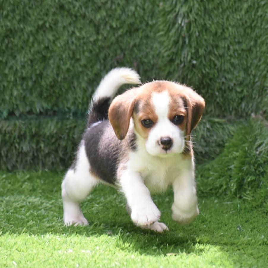Beagle Puppy For Sale In Delhi In 2020 Beagle Puppy Cute Animals Pets