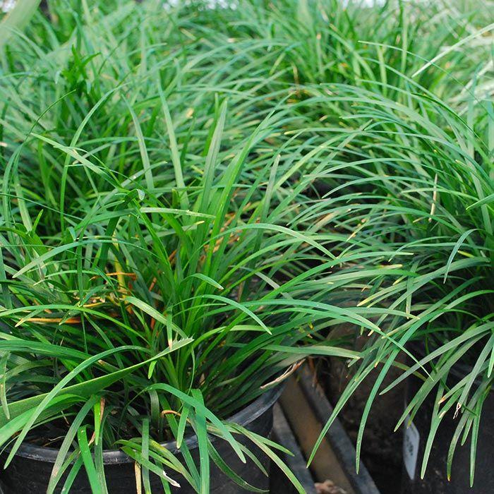 Dwarf Ornamental Grasses Ornamental grasses small ornamental grasses this small clumping ornamental grasses small ornamental grasses this small clumping grass is workwithnaturefo