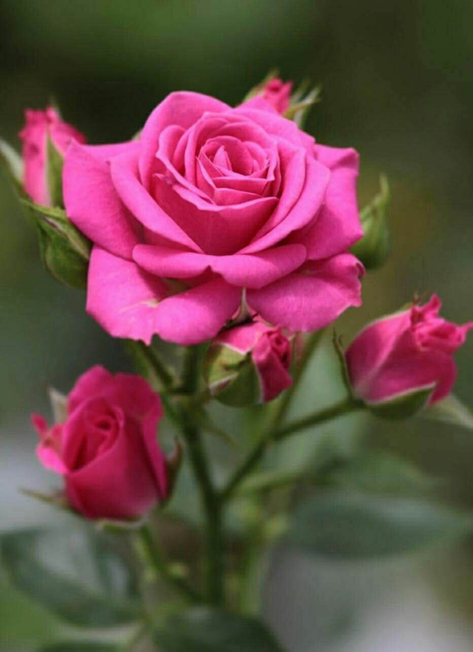 Pin By Jos Oliveira On Roses Bud Iii Pinterest Beautiful Roses