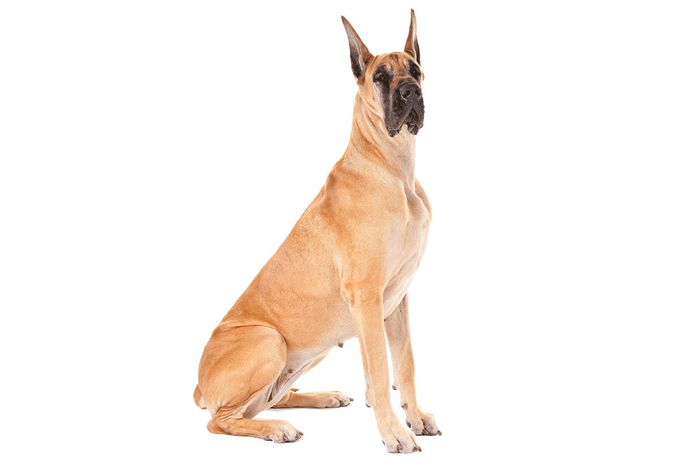Great Dane Dog Breed Information Urban Dog Dane Dog Dog Anatomy
