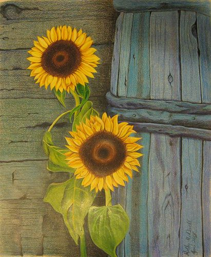 My Sunflowers Colored Pencil Drawing by Holly McDowell