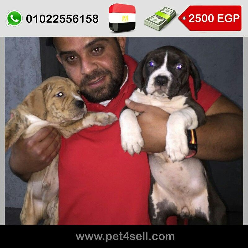 Egypt Alexandria Playful Pitbull Puppies Vaccinated With Their