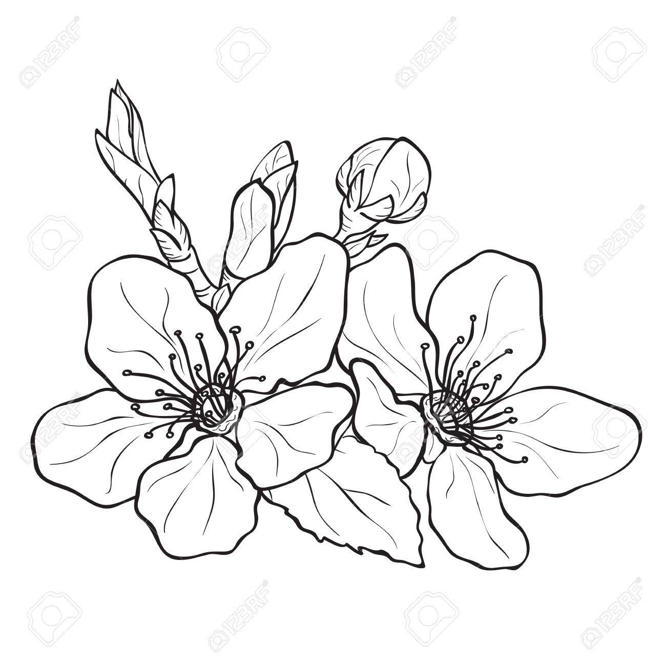 37195559-Flor-flores-de-cerezo-dibujo-Estilo-de-tinta-vector-Foto-de ...