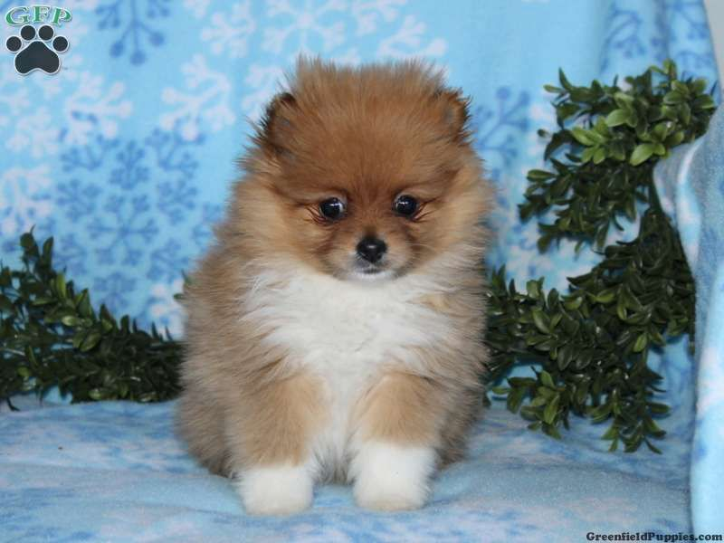 Bella pom puppy for sale from christiana pa dog breeds