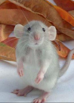 dumbo rat aww