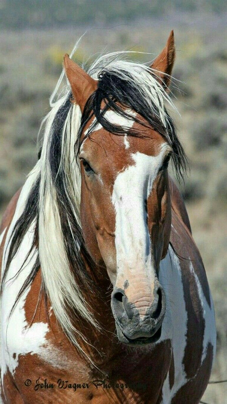 Horses in the little colorado herd management area - Wild Mustang Paint Pinto Named Picasso From The Sand Wash Basin Herd In
