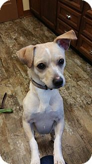 Bellingham Wa Jack Russell Terrier Chihuahua Mix Meet Felix A