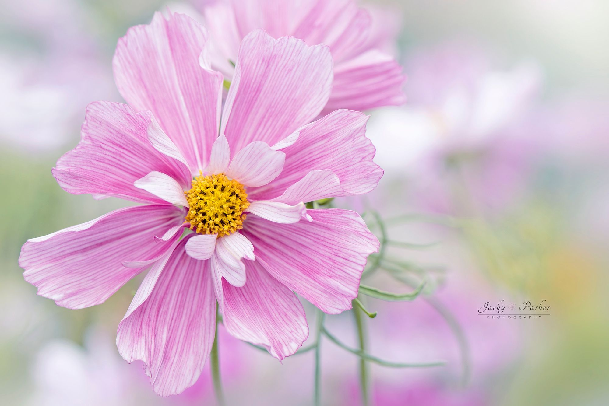 Cosmos Rosetta By Jacky Parker Favorite Flowers Plants