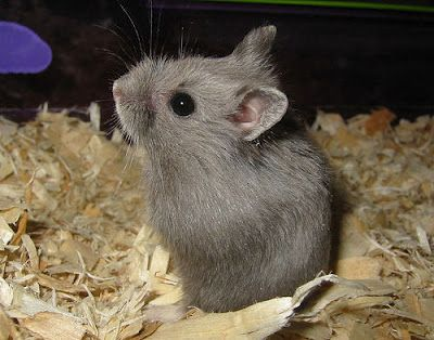 Gray Hamster Hamster Small Pets Dwarf Hamster