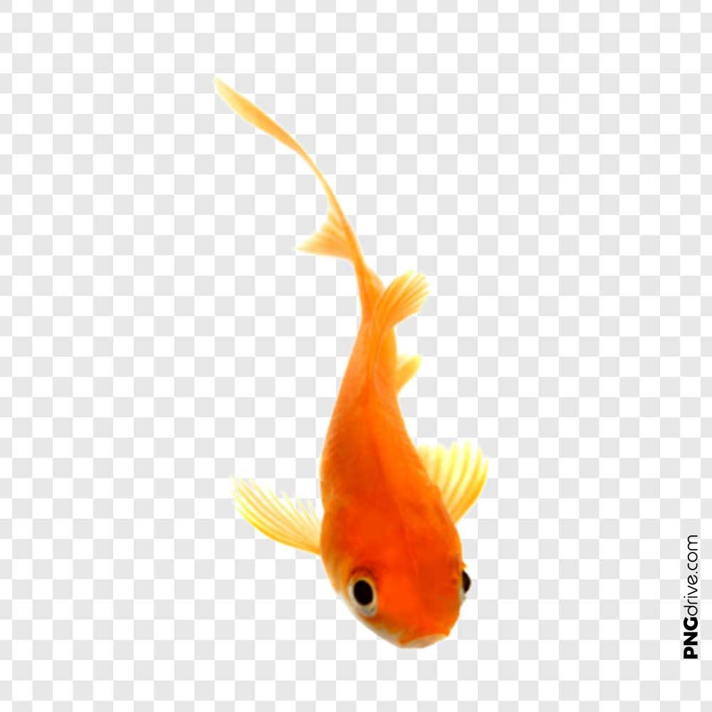 Pin By Png Drive On Gold Fish Png Golden Fish Colorful Fish Fish