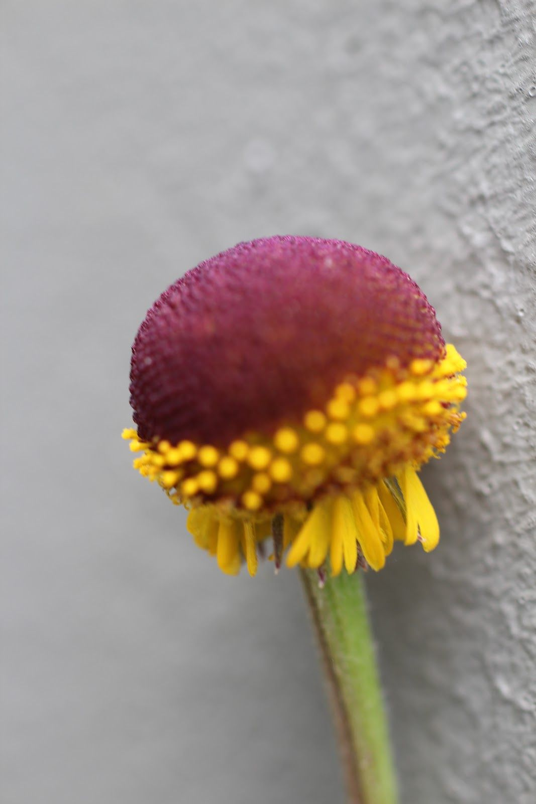 Craspedia Species Billy Buttons Helenium Puberulum The Native Billy Buttons Craspedia Species Is One Of Those Reall Billy Buttons Flowers Craspedia