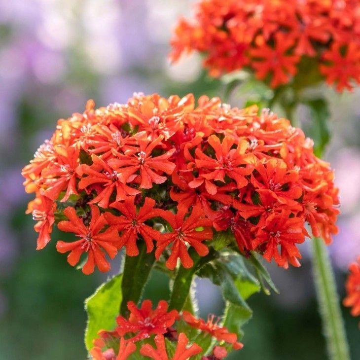 Brennende Liebe Pflanzen Winterharte Stauden Gartenpflanzen