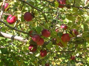 White Pine Orchards 7901 830th Avenue River Falls, Wis. 54022 715-425-2248 Hours: After Labor Day until October 31, Wed. – Fri., self-service, Saturday & Sunday: 10:00 a.m. – 5:00 p.m.