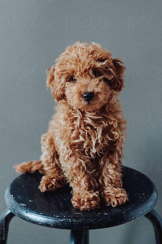 Stock photo of Caniche puppy by Vera