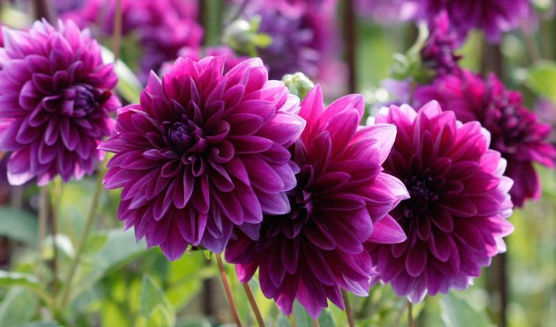 Dahlia Decorative Type Types Of Flowers Flower Pictures Flowers