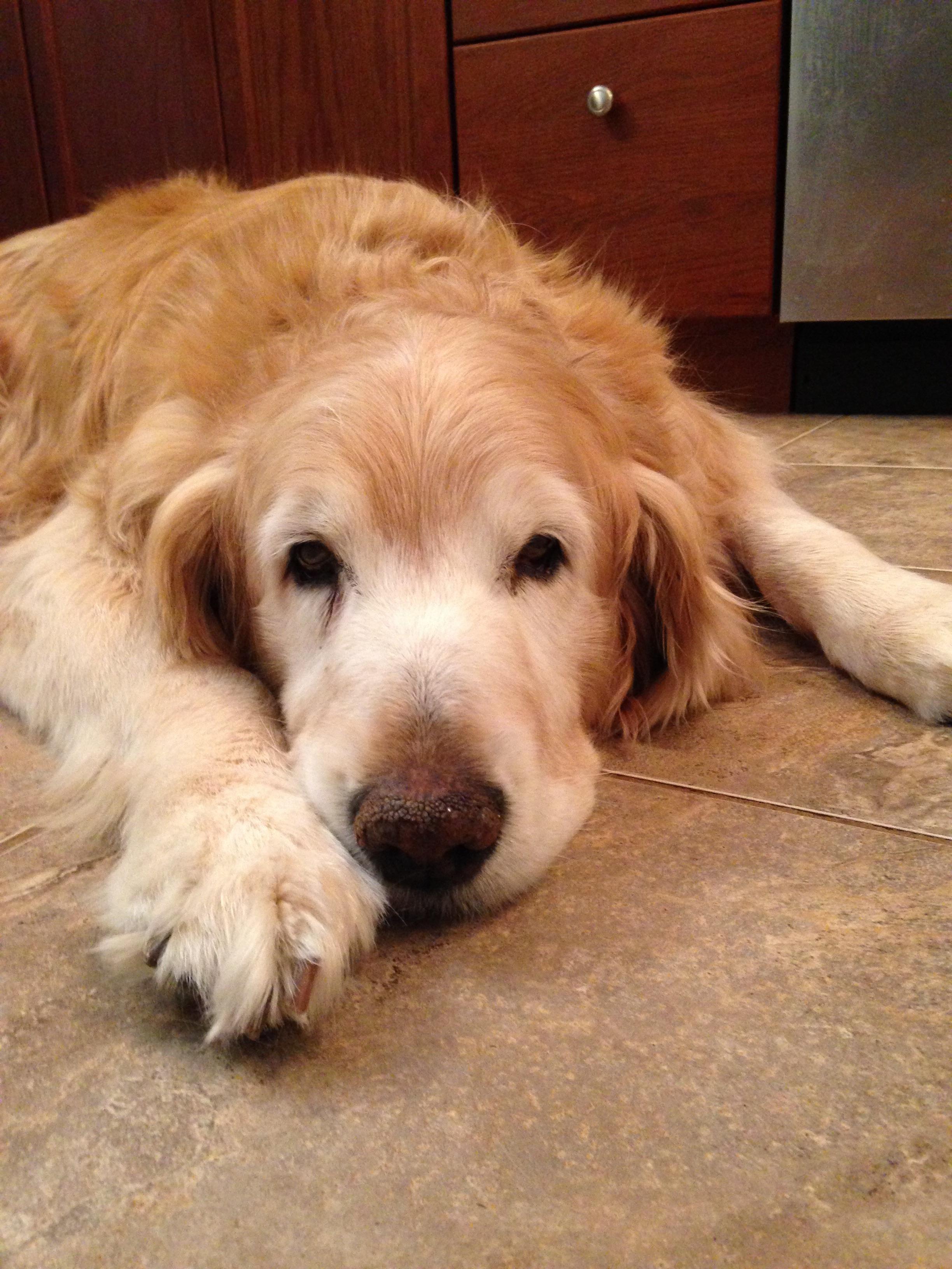 Pin By Doreen Laforgia On Dog Art Golden Retriever Retriever