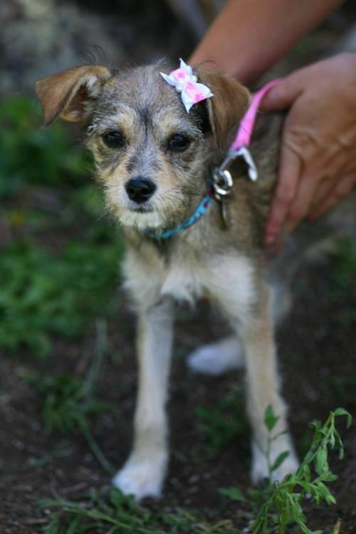 Adopt Betty Puppy On Petfinder Chihuahua Dogs Puppies Terrier Mix
