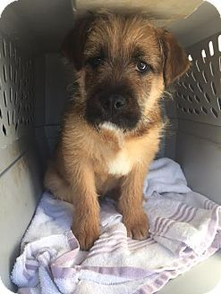 New Jersey Nj Terrier Unknown Type Medium Golden Retriever
