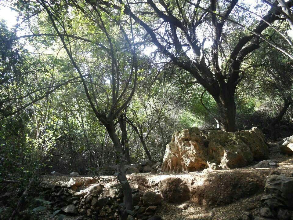 Nahal Amud in the Galilee Plants, Tree
