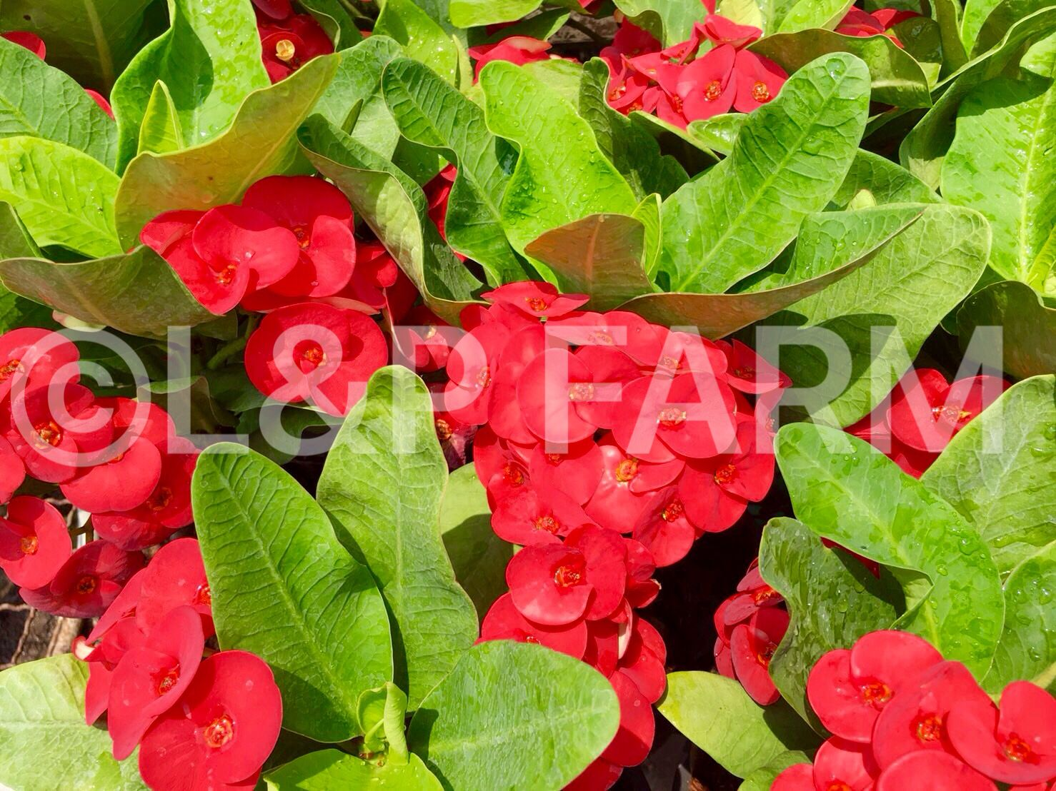 Euphorbia milii from lp farm is ready to sell in our store for euphorbia milii from lp farm is ready to sell in our store for izmirmasajfo
