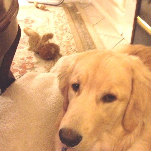 Labrador Retriever By Kathleen Seitz On Everything Golden