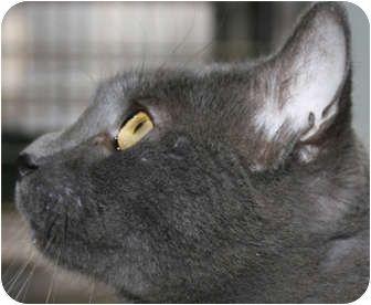 My Name Is Buddy Adopt Me Or One Of My Friends Manahawkin Nj Domestic Shorthair Meet Buddy A Cat For Adoption Kitten Adoption Cat Adoption Pets
