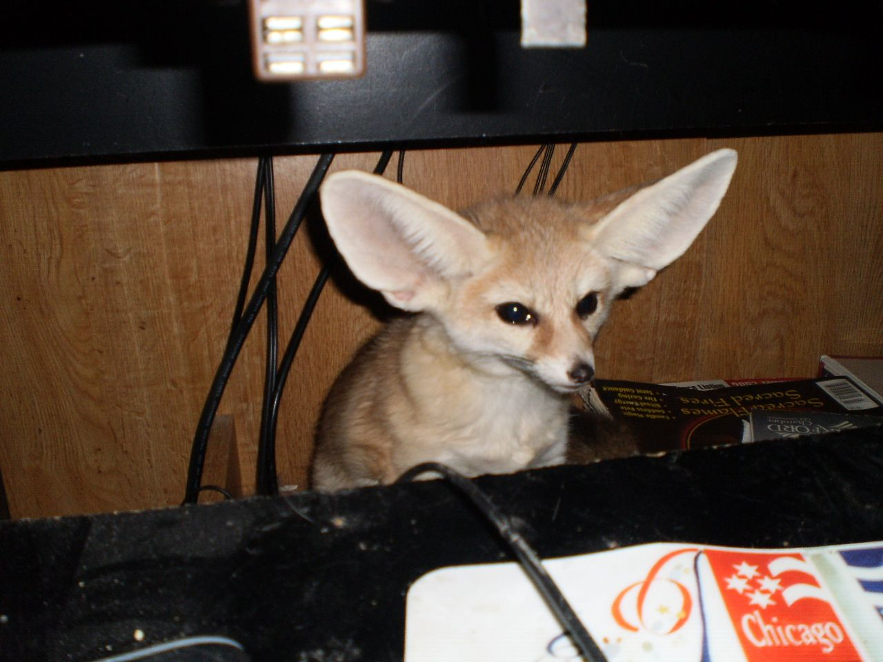 Quiggly Is One Of The 4 Fennec Foxes At Critter Camp He S Is Quite A Character And Has A Very Loud Voice Youtube Crittercamp Fennec Fox Pet Pet Care Pets