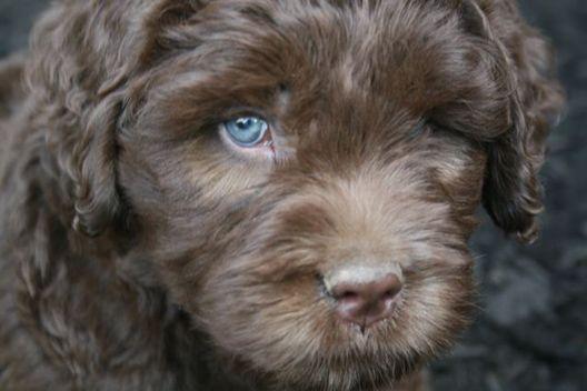 Chocolate Labradoodle Australian Labradoodle Puppies