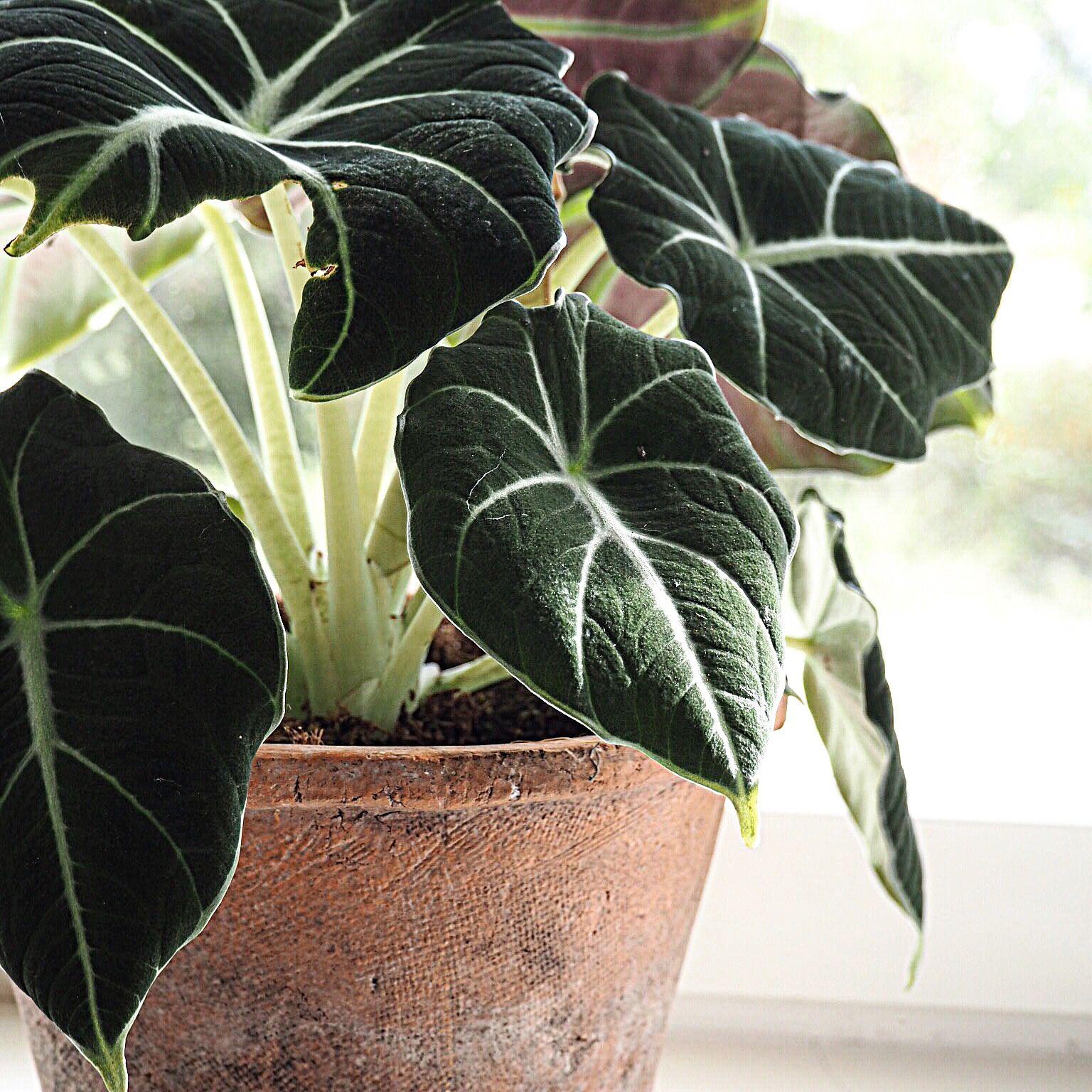 Alocasia Black Velvet Plante