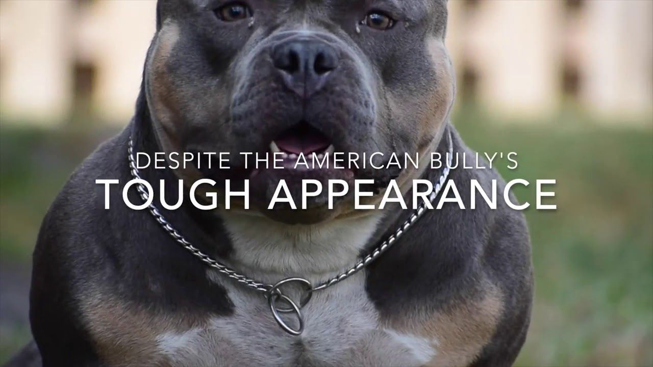 The Fastest Growing New Dog Breed 2019 The American Bully With