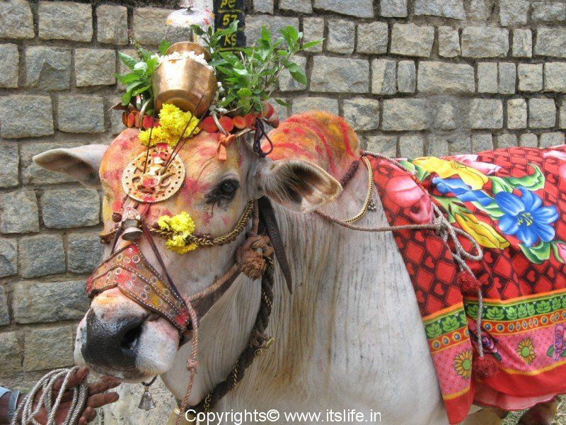 Celebration of Makara Sankranthi in different regions of India